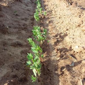 Winter lentils growing in the field
